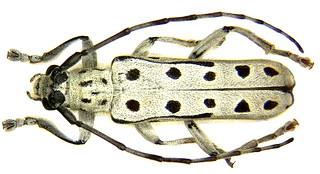 Saperda perforata (Pallas, 1773)