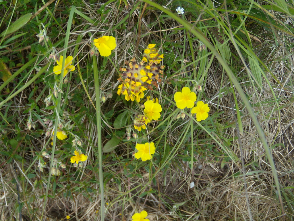 Rock Rose and (Kidney?)Vetch Cholsey to Goring