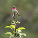 Broad Tailed Hummingbird
