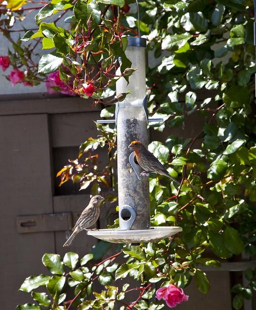 Bird feeder acorn bird feedersbird feeders for Acorn feeder