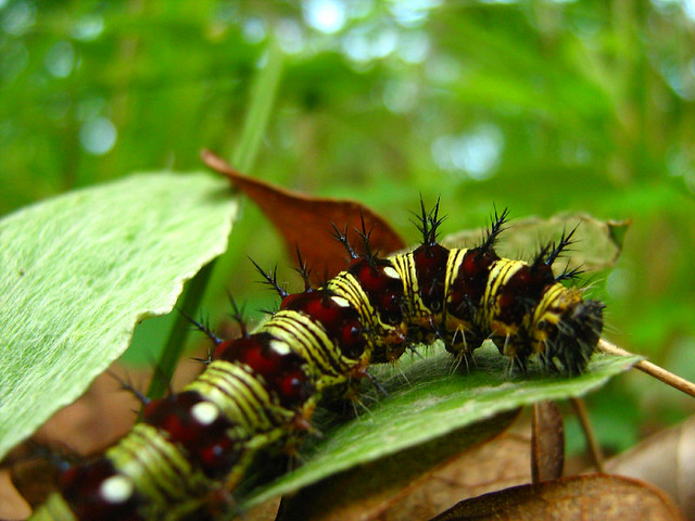 American Painted Lady Caterpillar