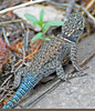 "<a href=""http://www.flickr.com/photos/jroldenettel/3670235498/"">Photo of Sceloporus jarrovii by Jerry Oldenettel</a>"
