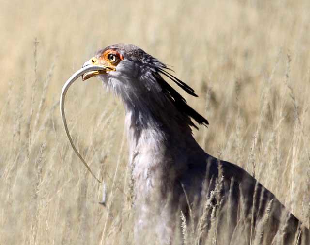 Falconiformes. Fam .Sagittaridae. espécie Sagittarius serpentarius.  Secretário 3765385822_91f295452a_z
