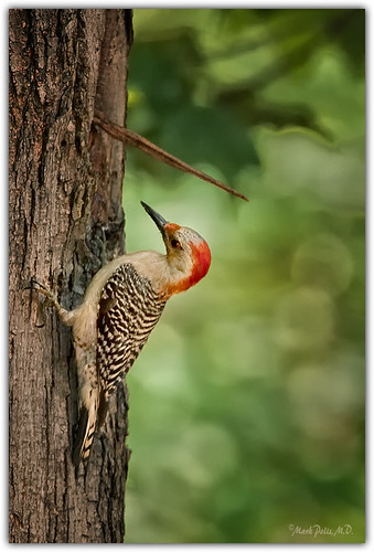 Red Bellied Woodpecker, female