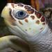 Loggerhead Sea Turtle - Photo (c) Brian Gratwicke, some rights reserved (CC BY)