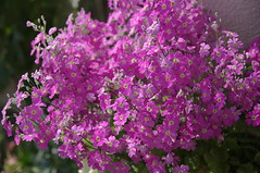 annual plant, shrub, flower, plant, breckland thyme, lilac, verbena, herb, wildflower, flora,