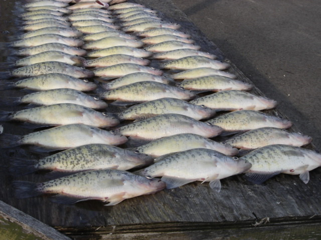 Dsc02177 flickr photo sharing for Reelfoot lake crappie fishing