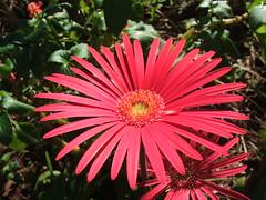 dorotheanthus bellidiformis, annual plant, flower, gerbera, macro photography, flora, petal,
