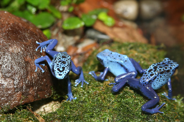 Poison Dart Frog (Dendrobates azureu) | Flickr - Photo ...