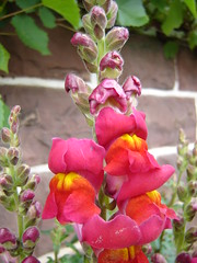 blossom(0.0), floristry(0.0), digitalis(0.0), annual plant(1.0), flower(1.0), plant(1.0), wildflower(1.0), flora(1.0), snapdragon(1.0), petal(1.0),