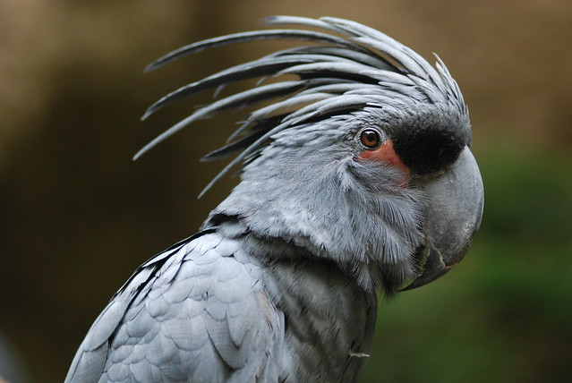 Black palm cockatoo