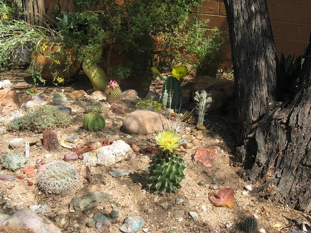 Backyard Cactus Garden