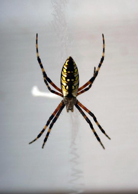 Mississippi Garden Spider - Wetumpka, Alabama