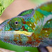 Panther Chameleon - Photo (c) McBeul, some rights reserved (CC BY)