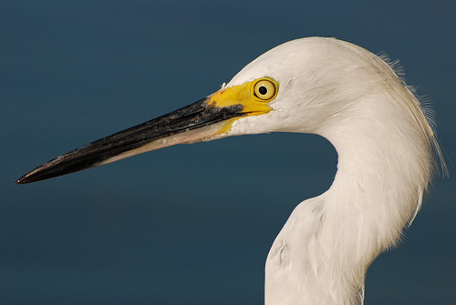 animal bird egret snowyegret wadingbird avian closeup colorful feathers plumage eye beak white sky water standing staring watching looking michaeldskelton michaelskelton michaeldskeltonphotography
