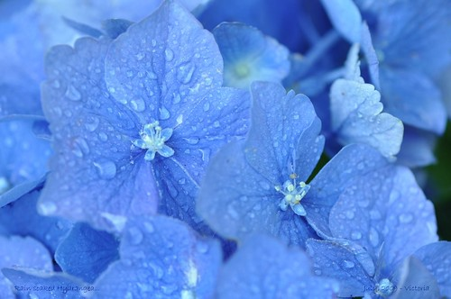 blue summer flower macro nature rain garden droplets flora colorful blossoms maryland raindrops hydrangea 2009 picnik potofgold coth supershot nikond90 105mmf28vrlens coth5 rainbowelite