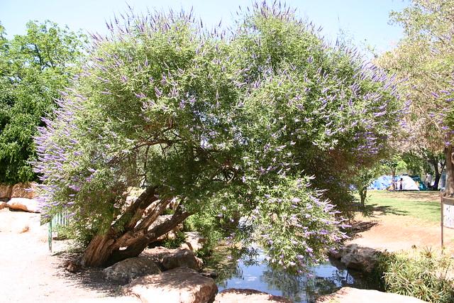 Gidona Israel  city photos : Vitex agnus castus שיח אברהם | Explore Uri ZACKHEM's photos ...