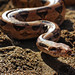 Boa Constrictor - Photo (c) Eric Martin, some rights reserved (CC BY-NC-ND)