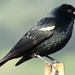 Tricolored Blackbird - Photo (c) Maggie.Smith, some rights reserved (CC BY-NC)