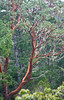 Pacific Madrone - Photo (c) M.E. Sanseverino, some rights reserved (CC BY-NC-ND)