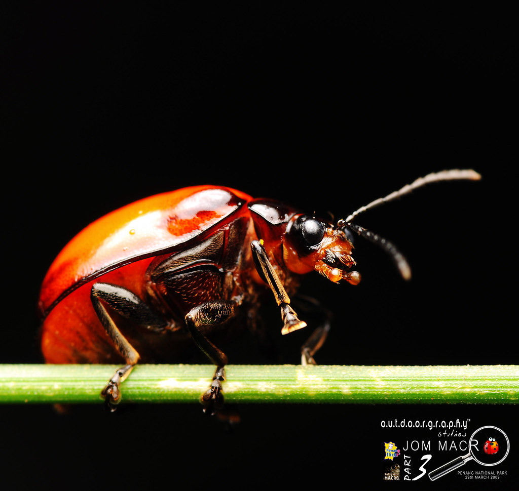 Jom Macro III : Red Beetle by Sir Mart Outdoorgraphy™
