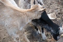 animal, mammal, goats, domestic goat, fauna, wildlife,