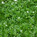 Small photo of Sweet Woodruff in bloom