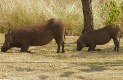 cattle-like mammal(0.0), bison(0.0), animal(1.0), wild boar(1.0), pig(1.0), grazing(1.0), fauna(1.0), pig-like mammal(1.0), warthog(1.0), pasture(1.0), wildlife(1.0),