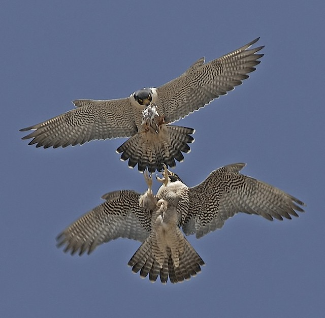peregrine falcon food transfer a gallery on flickr. Black Bedroom Furniture Sets. Home Design Ideas