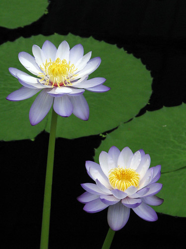 uk england kewgardens black green london nature water kew gardens garden leaf waterlily purple unitedkingdom pair royal botanic royalbotanicgardenskew supershot canons5
