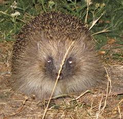 echidna, animal, porcupine, domesticated hedgehog, monotreme, erinaceidae, fauna, wildlife,