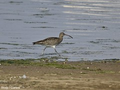 wetland, animal, charadriiformes, fauna, red backed sandpiper, shorebird, snipe, bird, wildlife,