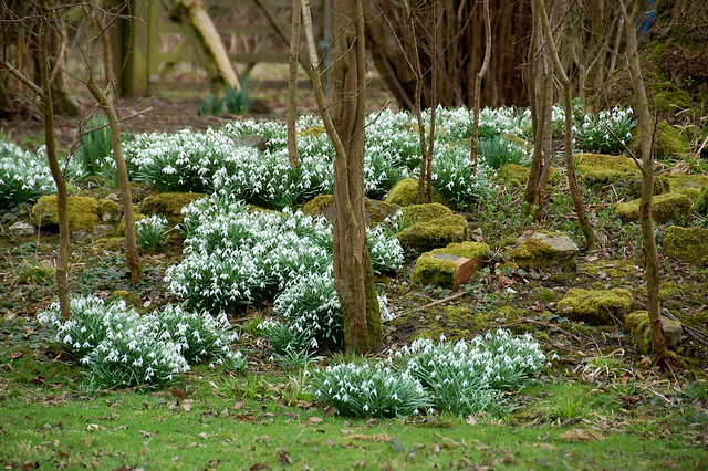 Snowdrops in Hatfield Forest