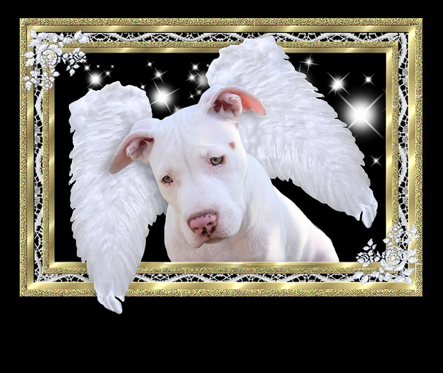 Framed White Puppy Dog Angel with Wings, Luna, American Pit Bull Terrier, Staffordshire, In Heaven from the Rainbow Bridge