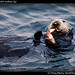 Seaotter with seafood (4)
