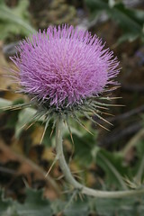 flower, thistle, plant, thorns, spines, and prickles, macro photography, wildflower, flora, silybum, artichoke thistle, close-up, plant stem,