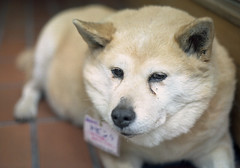 dog breed, animal, west siberian laika, akita, dog, hokkaido, pet, norwegian buhund, mammal, east siberian laika, greenland dog, kishu, korean jindo dog, close-up,