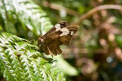 Butterfly close up, Royal National Park Australia