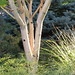 Small photo of Acer pennsylvanicum