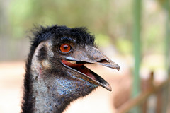 emu, animal, ostrich, flightless bird, fauna, close-up, casuariiformes, beak, bird, ratite, wildlife,