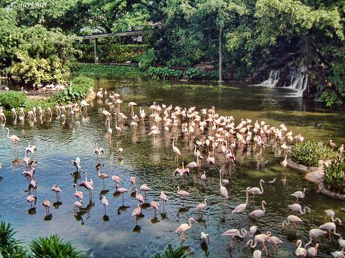lake singapore flamingos jurongbirdpark jurong hfs makesachange larigan phamilton goldstaraward damniwishidtakenthat happyflamingosunday gettyimagessingaporeq1