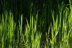 flower(0.0), soil(0.0), grass(0.0), plant stem(0.0), agriculture(1.0), field(1.0), leaf(1.0), plant(1.0), wheatgrass(1.0), green(1.0), paddy field(1.0), crop(1.0), grassland(1.0),