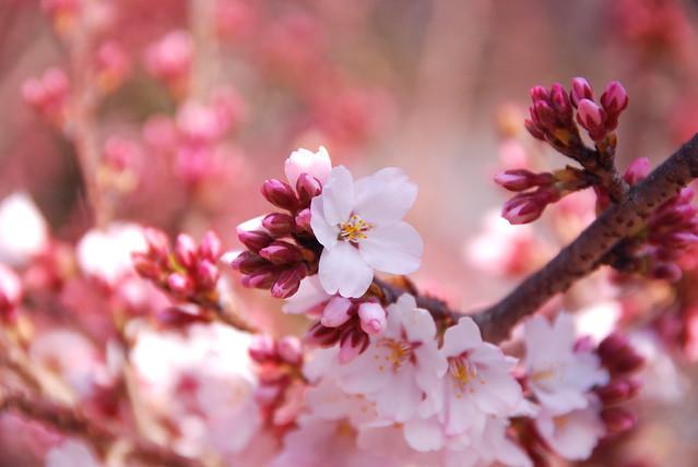 さ く ら Cherry blossom