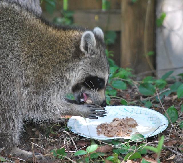 Cat Raccoon Food