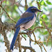 Scrub-Jays - Photo (c) Jamie Chavez, some rights reserved (CC BY-NC)