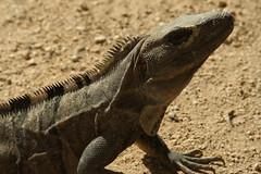 animal, reptile, lizard, fauna, close-up, iguana, scaled reptile, wildlife,