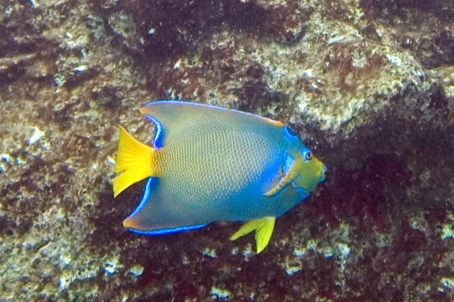 Queen angelfish holacanthus ciliaris flickr photo sharing for Queen angel fish