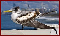 Sea Gull Surfers Paradise Main Beach-01&