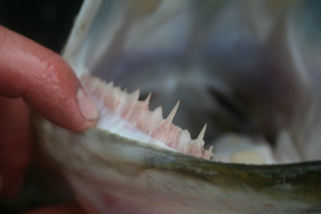Spoonbill fish teeth