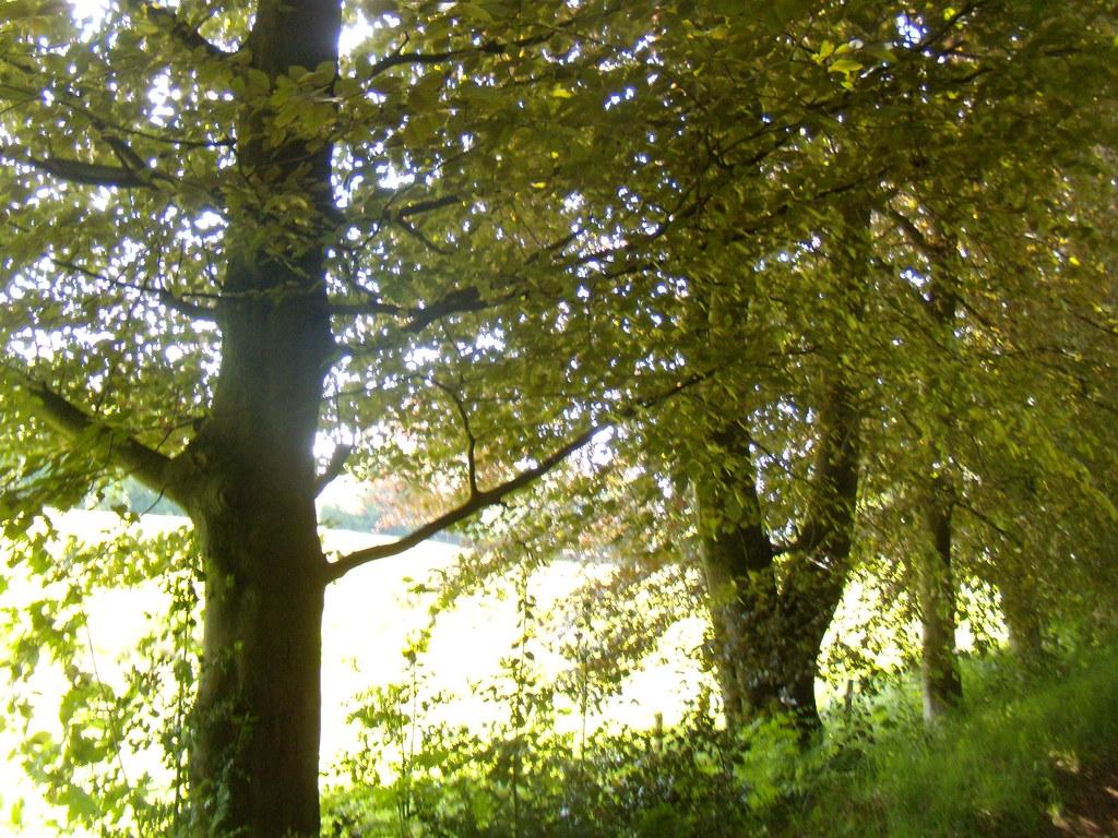 Sun through trees 3 Haslemere round walk